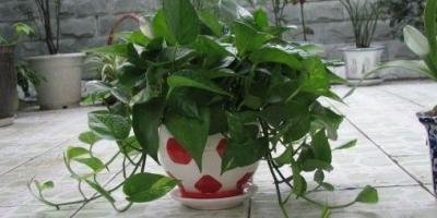用什么方法可以使扦插绿萝很快生根?