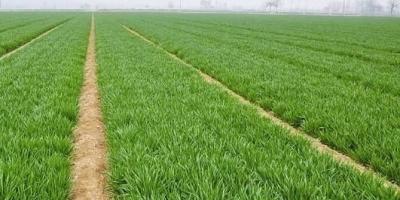 农村种小麦出现入不敷出的情况,还有必要坚持吗?
