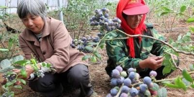 大棚蓝莓盆栽好还是地栽好?