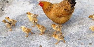 为什么小鸡稍长大后,有些母鸡会啄小鸡不允许它们靠近?