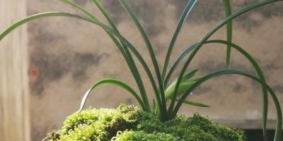 兰花25度以上可以施肥吗?