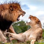 狮群是怎么防止近亲繁殖的?