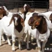 今后养羊的前景如何?