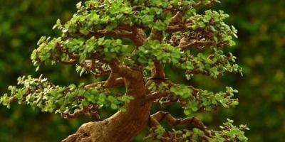 盆栽的金枝玉叶,需要注意什么?