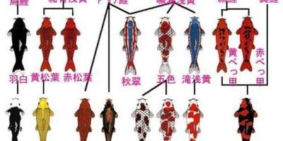 如何区分锦鲤的品种?