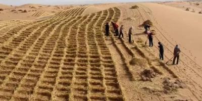 小麦秸秆在沙漠能保持多长时间,可以治沙吗?