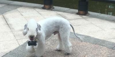 为什么现在贝灵顿这种狗没人买呢?