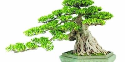 什么盆景容易种植?