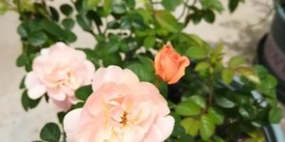 如何在阳台种好月季?