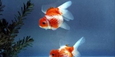 怎么挑选健康的锦鲤或金鱼?