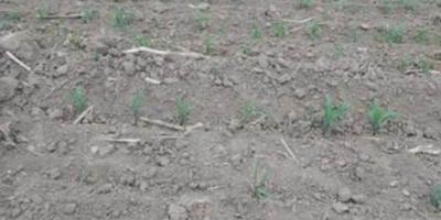 为什么制作种子发芽慢出苗不齐?玉米制种?