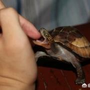 不小心被乌龟咬到了,它会越咬越紧,打死不松口,怎么办?