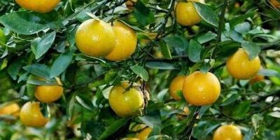 橘子甜度更高,早熟的品种有哪些?