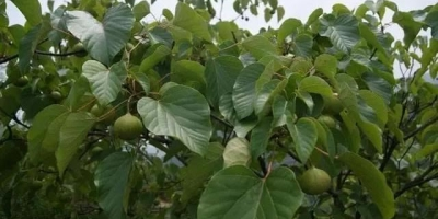 桐油树叶怎么保存?