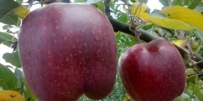 核桃树能嫁接什么水果树呀?