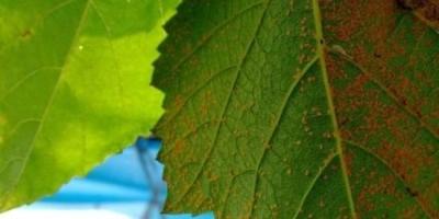 月季长了红蜘蛛,有什么快速防治方法?