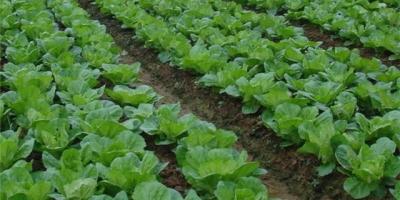 白菜追肥用什么肥料好?