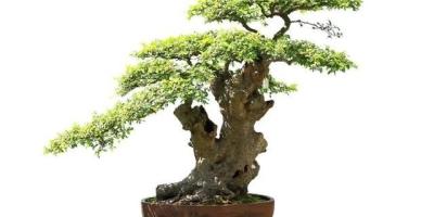 栽培观叶盆景植物,冬天如何做养护?