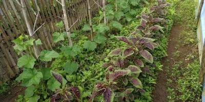 黄瓜菜地里可以种苋菜吗?
