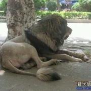 多少只猛犬才能打的过东北虎,甚至能杀死老虎?