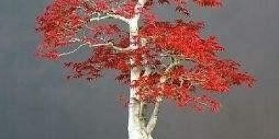 朋友送的红枫盆景,请问我该怎么做才能养护好?