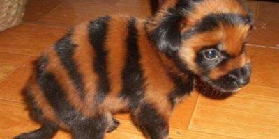 虎斑犬现在属于比较少的一种犬吗?哪里有卖?