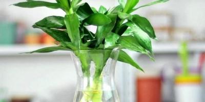适合家庭养殖的水中植物有哪些?