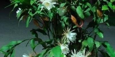 盆栽昙花应该如何种植?