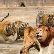 虎王戴尔加上虎王查吉尔打得过非洲雄狮坏男孩联盟吗?