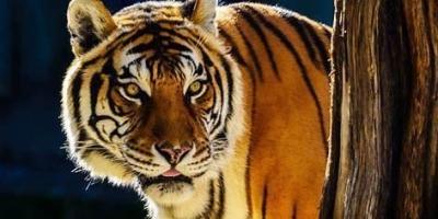 老虎从心理上惧怕雄狮吗?对于这个问题你怎么看呢?