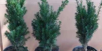 刚买的带土球的红豆杉怎么上盆养护?