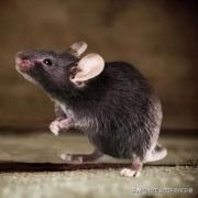 为什么老鼠难以灭绝?