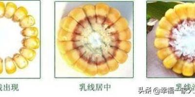 从籽粒什么地方能看出玉米已经成熟了?