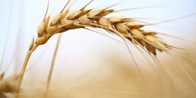 小麦叶后期软是什么原因?