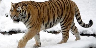 为什么内蒙古大草原没有老虎生活?