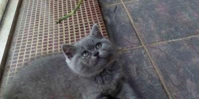 如何区分纯种蓝猫和蓝猫串?