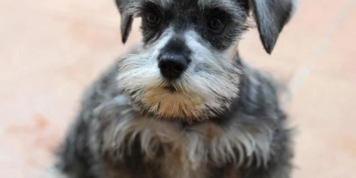 想养个狗狗了,喜欢不掉毛的,有什么品种推荐呢?