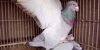 一只公鸽子能带领多少只母鸽子?