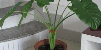 滴水观音的叶子可以用来做液肥吗?