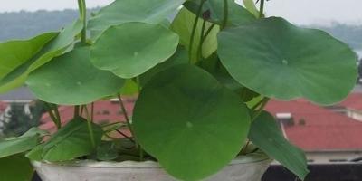 盆栽荷花怎么种?