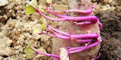 红薯一般什么时候开始育苗?育苗期大概多久?