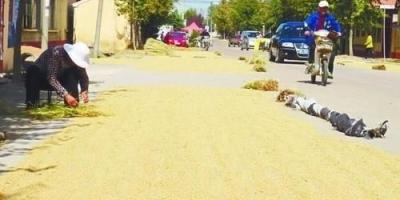 农民在乡村道路晒粮被外地重行车车辆碾碎麦。村民有权挡车辆吗?