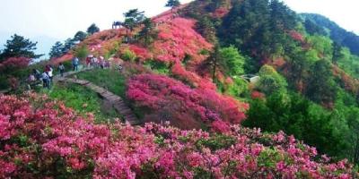 山里挖的高细的映山红,怎样培养成粗矮的?