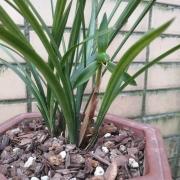 种了几盆春兰,其中一盆昨天开花了,求大神分析一下原因,成都的?