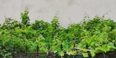 顶楼阳台种什么遮阳植物好?
