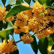 北方可以栽桂花树吗,成活后会开花吗?