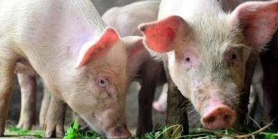 猪肉价格降下来了,现在还有500多头,该卖还是等等?