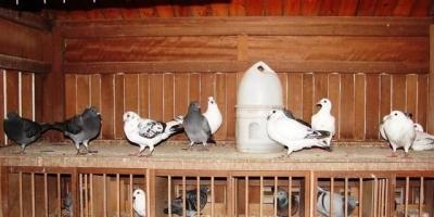 晚上开灯对鸽子有好处吗?
