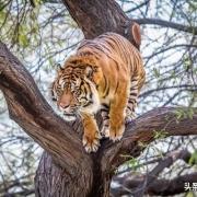 老虎唯一治不了猫的地方就是猫会上树而老虎不会上树,是这样吗?