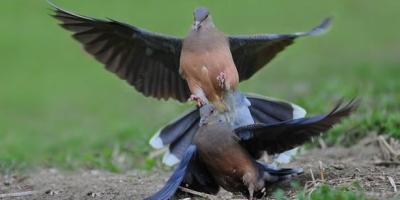斑鸠配岩鸽会生出什么样的鸽子?